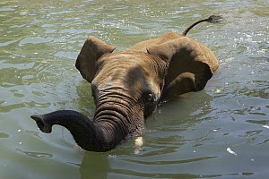 African Elephant (Loxodonta africana) swimming, threatened, native to Africa - ZSSD