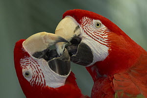 Scarlet Macaw (Ara macao) pair kissing, native to South America  -  ZSSD