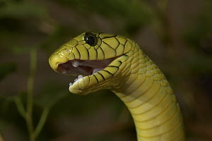 Green Mamba (Dendroaspis viridis) face with open mouth, venomous, native to West Africa  -  ZSSD
