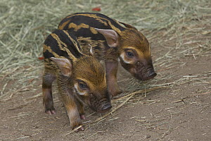 Red River Hog (Potamochoerus porcus) pair of piglets, highly social bush pig native to Africa and Madagascar  -  ZSSD