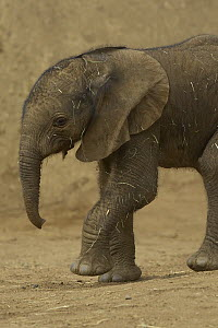 African Elephant (Loxodonta africana) calf portrait, threatened, native to Africa  -  ZSSD