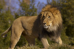 African Lion (Panthera leo) male portrait, threatened, native to Africa  -  ZSSD