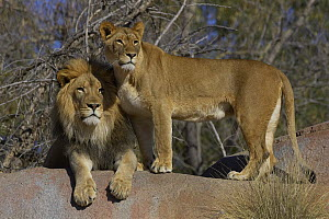 African Lion (Panthera leo) male and African Lioness, threatened, native to Africa  -  ZSSD