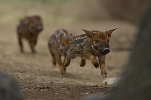 Red River Hog (Potamochoerus porcus) piglets running, native to Africa  -  ZSSD