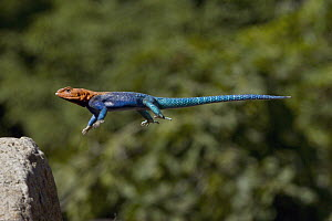 Red-headed Rock Agama (Agama agama) male jumping onto rock, native to Africa, San Diego Zoo, California  -  ZSSD