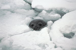 Weddell Seal (Leptonychotes weddellii) at breathing hole, Antarctica  -  Mitsuaki Iwago