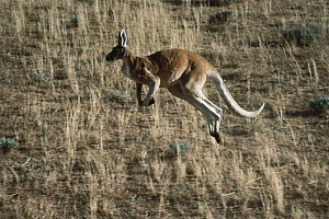 Red Kangaroo (Macropus rufus) hopping through dry grass, Australia  -  Mitsuaki Iwago