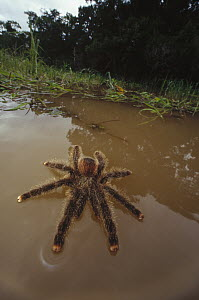 Peruvian Pinktoe Tarantula (Avicularia urticans) walking on water after being flooded from its nest, Amazonian ecosystem, Peru  -  Mark Moffett