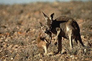 Red Kangaroo (Macropus rufus) mother embracing joey, Sturt National Park, New South Wales, Australia  -  Mitsuaki Iwago