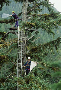 Researchers collecting insects in Sitka Spruce (Picea sitchensis), Carmanah Valley, Vancouver, Canada - Mark Moffett