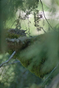 Marbled Murrelet (Brachyramphus marmoratus marmoratus) chick calling from its canopy nest, Oregon  -  Mark Moffett