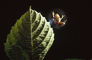 Caribbean Tree Frog (Eleutherodactylus coqui) parachuting from tree, this frog holds a cup of air beneath it with its arms as if it were a parachute, leaping to the ground each morning, Puerto Rico  -  Mark Moffett