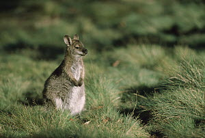Red-necked Wallaby (Macropus rufogriseus) sitting among tussock grass, Cradle Mountain, Lake St Clair National Park, Tasmania, Australia  -  Shin Yoshino