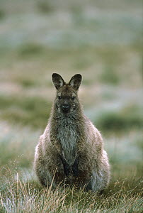 Red-necked Wallaby (Macropus rufogriseus) portrait, Cradle Mountain, Lake St Clair National Park, Tasmania, Australia  -  Shin Yoshino