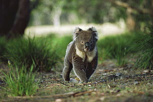 Koala (Phascolarctos cinereus) male crossing the forest floor, Kangaroo Island, Australia - Mitsuaki Iwago