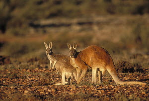Red Kangaroo (Macropus rufus) male and female with joey in pouch, Sturt National Park, Australia  -  Mitsuaki Iwago