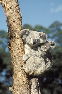 Koala (Phascolarctos cinereus) mother and young in tree, Australia - Mitsuaki Iwago