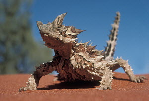 Thorny Devil (Moloch horridus) on sand, Australia - Mitsuaki Iwago