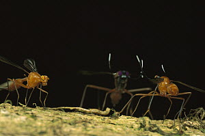 Stag Fly (Phytalmia cervicornis) female watches as two males prepare to fight, Papua New Guinea - Mark Moffett