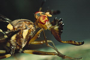 Moose Fly (Phytalmia alcicornis) has antlers so large that they may hinder the ant's activities, Papua New Guinea - Mark Moffett