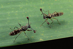 Stalk-eyed Fly (Cyrtodiopsis whitei) males confront each other, South Africa  -  Mark Moffett