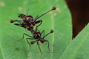 Stalk-eyed Fly (Cyrtodiopsis whitei) pair mating, South Africa  -  Mark Moffett