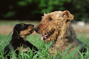 Airedale Terrier (Canis familiaris) mother and puppy, Japan - Mitsuaki Iwago