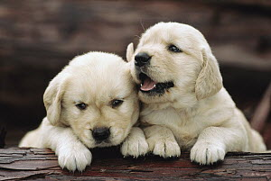 Golden Retriever (Canis familiaris) two puppies resting on a log - Mitsuaki Iwago