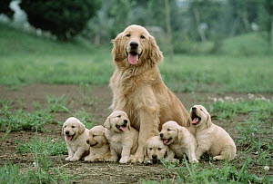 Golden Retriever (Canis familiaris) mother with litter of puppies, Japan - Mitsuaki Iwago