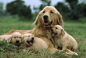 Golden Retriever (Canis familiaris) mother with three puppies, Japan - Mitsuaki Iwago