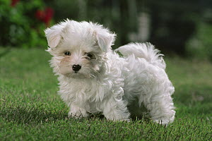 Maltese (Canis familiaris) puppy standing on green lawn - Mitsuaki Iwago