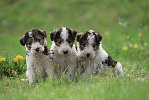 Wire-haired Fox Terrier (Canis familiaris) three puppies sitting on green lawn  -  Mitsuaki Iwago