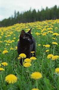 Domestic Cat (Felis catus) kitten in field of Dandelions (Taraxacum officinale) - Mitsuaki Iwago