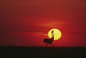 Siberian Crane (Grus leucogeranus) pair courting in front of setting sun, China  -  Mitsuaki Iwago