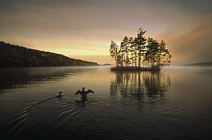 Common Loon (Gavia immer) pair on Moose Lake at sunrise, Minnesota  -  Jim Brandenburg