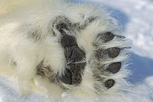 Polar Bear (Ursus maritimus) paw showing black pads and thick fur, Canada  -  Flip  Nicklin