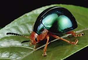 Leaf Beetle (Chrysomelidae) portrait, South Africa  -  Mark Moffett