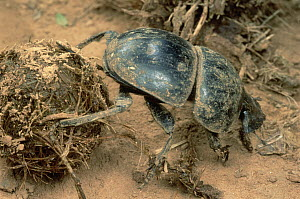 African Scarab Beetle (Circellium bacchus) rolls animal dung into balls which are buried and fed upon by its larvae, South Africa  -  Mark Moffett