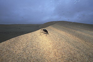 Darkling Beetle (Onymacris unguicularis) collecting dew on its upturned body, Namib Desert, Namibia  -  Mark Moffett