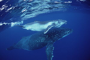 Humpback Whale (Megaptera novaeangliae) mother and calf underwater, Tonga  -  Flip  Nicklin