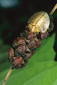 Tortoise Beetle (Acromis sparsa) mother uses body as shield to guard her young, Panama  -  Mark Moffett