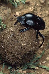 African Scarab Beetle (Circellium bacchus) rolling dung ball, Addo National Park, South Africa  -  Mark Moffett