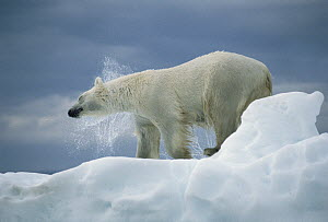 Polar Bear (Ursus maritimus) shaking off water from coat, Canada  -  Flip  Nicklin