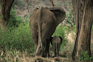 African Elephant (Loxodonta africana) mother and calf walking together side by side, Kenya - Mitsuaki Iwago