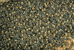 Herdsman Ant (Dolichoderus cuspida) temporary nest consisting of 10,000 exposed and interlinked bodies Hidden within are the queen, young and thousands of Mealybugs, Malaysia  -  Mark Moffett