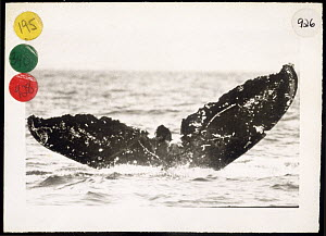 Humpback Whale (Megaptera novaeangliae) tail, Frank, taken in March 10, 1979 Same whale was photographed by F Nicklin in March 1, 1997, Maui, Hawaii  -  Jim Darling
