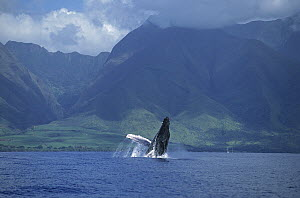 Humpback Whale (Megaptera novaeangliae) breaching, Maui, Hawaii - notice must accompany publication; photo obtained under NMFS permit 987  -  Flip  Nicklin