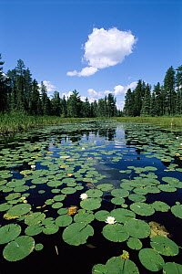 Water Lily (Nymphaea sp) cluster in pond surrounded by coniferous forest, Boundary Waters Canoe Area Wilderness, Minnesota - Jim Brandenburg