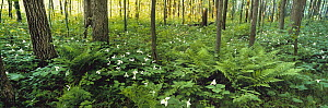 Temperate forest interior with trillium ground cover, Northwoods, Minnesota - Jim Brandenburg