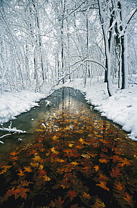 Oak (Quercus sp) leaves in stream with snowy forest, Minnesota - Jim Brandenburg